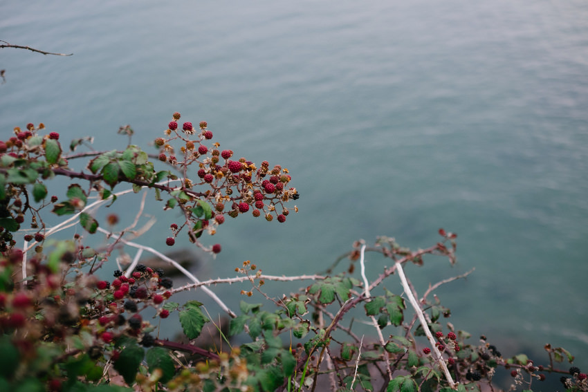 wild berries on cliff top at dunmore east